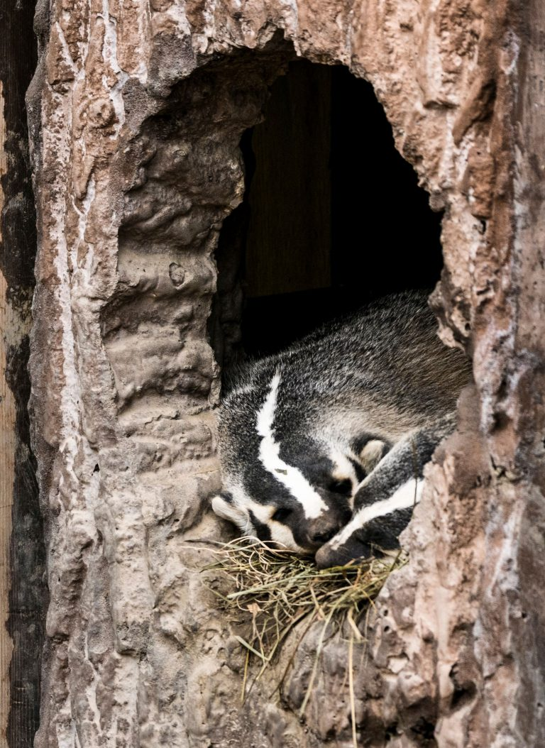 sleeping badgers at vilas zoo